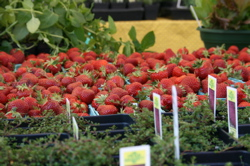 Small Strawberries and Plants